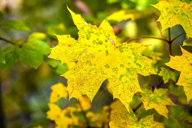 Close-up de brilhantes folhas amarelas vibrantes em galhos de uma árvore no outono park