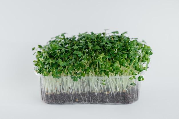 Close-up de brotos de mostarda micro-verde em uma parede branca em um pote com solo. alimentação e estilo de vida saudáveis.