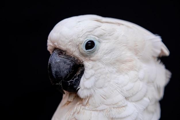 Close up de cacatua branca com fundo preto.