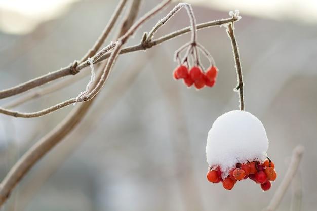 Close-up de cacho congelado seco de bagas vermelhas maduras brilhantes