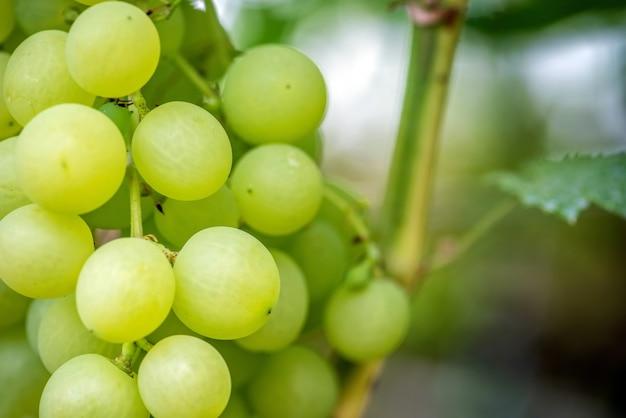 Close-up de cachos de uvas para vinho maduras na videira