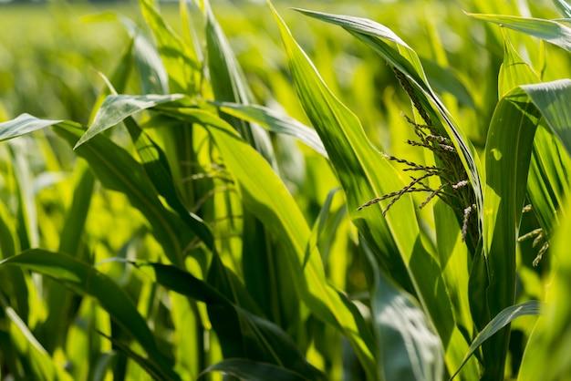 Close-up de campo de milho em um dia ensolarado