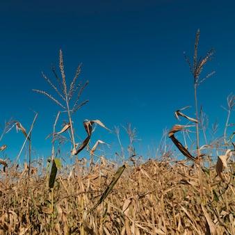 Close-up de campo de milho nos hamptons
