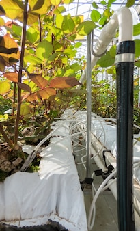 Close-up de canteiros de irrigação na estufa. estufa industrial para o cultivo de rosas