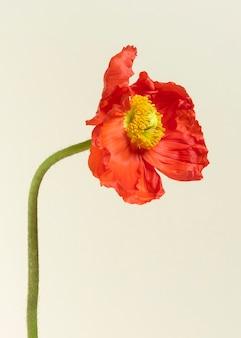 Close up de cartão de convite de flor de papoula vermelha
