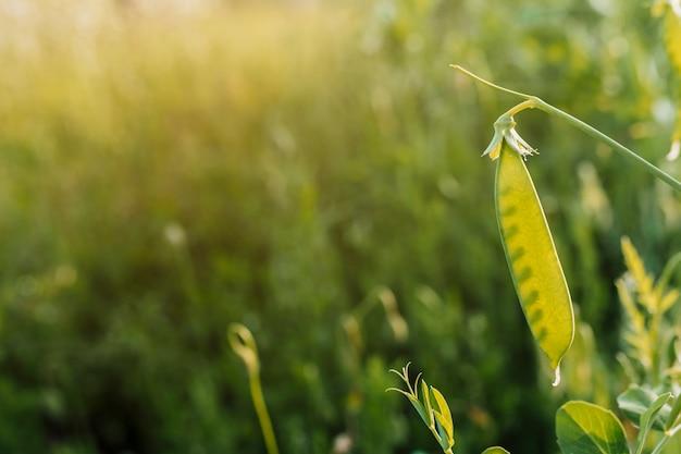 Close-up de casca de ervilha com espaço de cópia