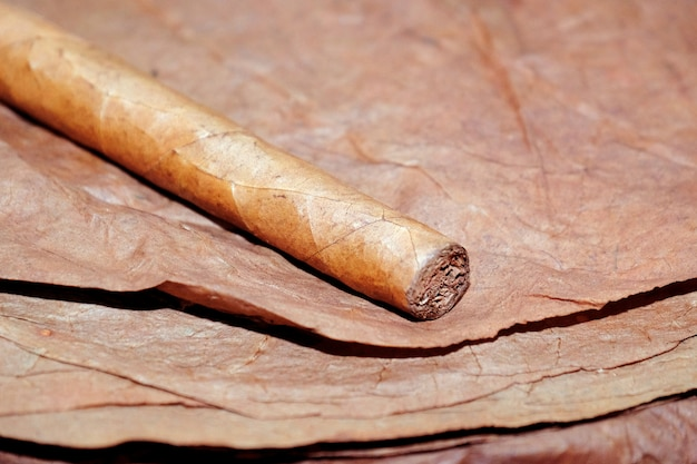 Close-up de charuto nas folhas de tabaco