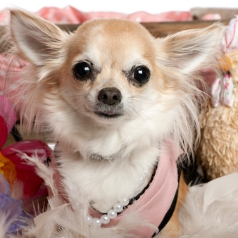Close-up de chihuahua vestido e usando pérolas, 3 anos de idade,