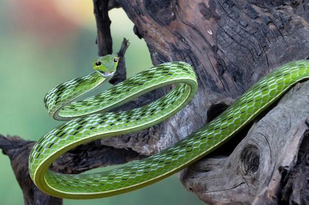 Close up de cobra de videira asiática na madeira