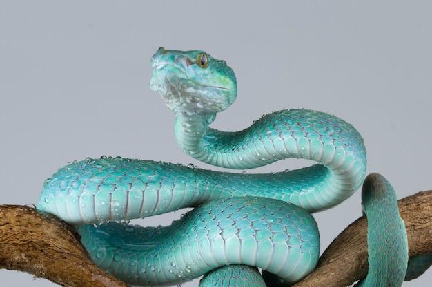 Close up de cobra víbora azul com parede cinza