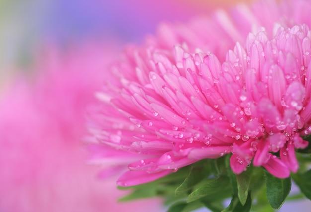 Close-up, de, cor-de-rosa, aster