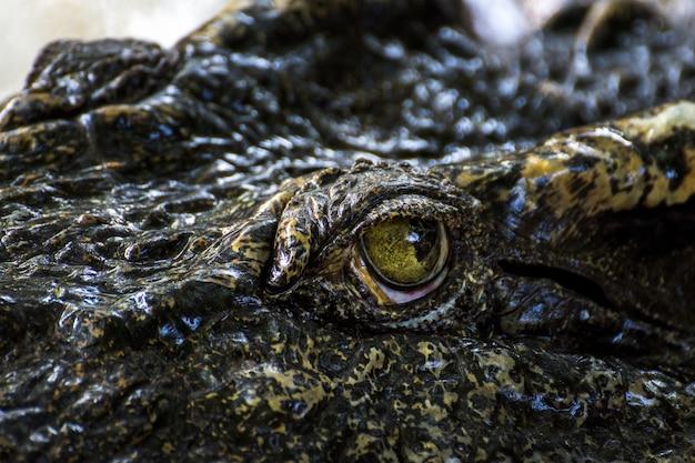 Close-up de crocodilo de olho