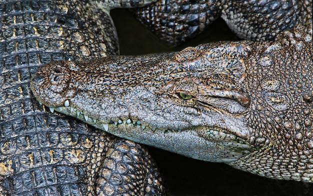 Close-up de crocodilo