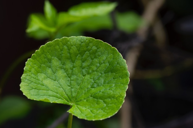 Close up de daun pegagan, folha centella asiatica, tem sido usado para curar pequenas feridas