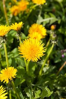 Close up de dentes-de-leão frescos amarelos no campo na primavera, flores de dente-de-leão são frescas e floresceram recentemente, plantas daninhas-leão