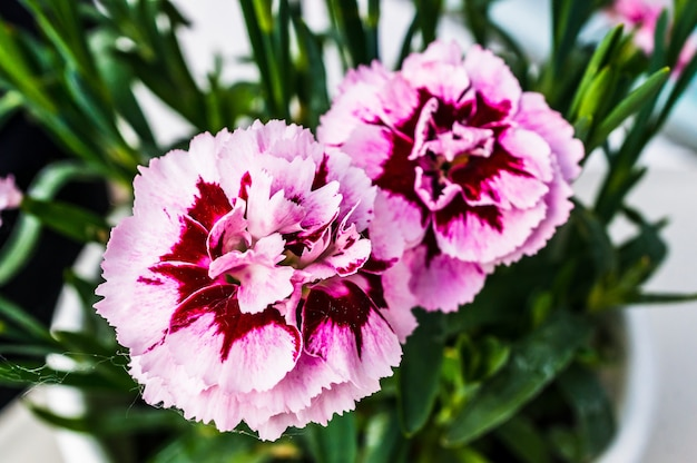 Close up de dianthus caryophyllus rosa e vermelho