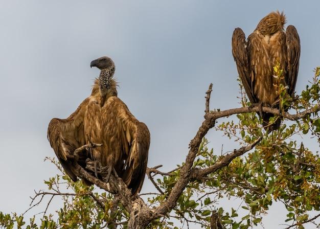 Close-up de dois abutres em galhos sob o céu azul
