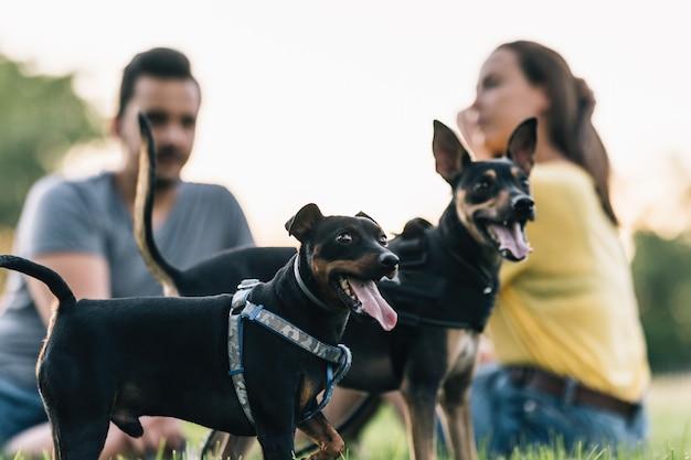 Close-up de dois cachorrinhos felizes com seus donos ao fundo fora de foco. dois cães com a língua de fora usando arreios.