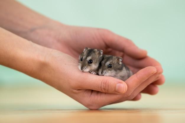 Close up de dois hamster jungar diminutos engraçados pequenos que sentam-se nas mãos de uma mulher. ratos dzhungar fofos e fofos em casa.