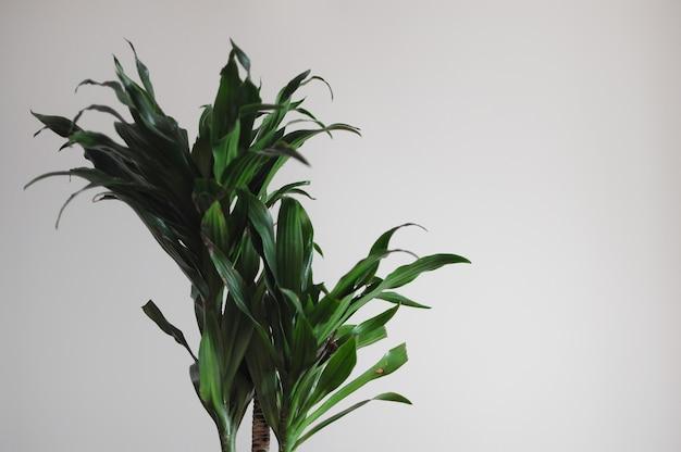 Close up de dracaena fragrans planta doméstica design de estilo mínimo no fundo da parede branca vazia