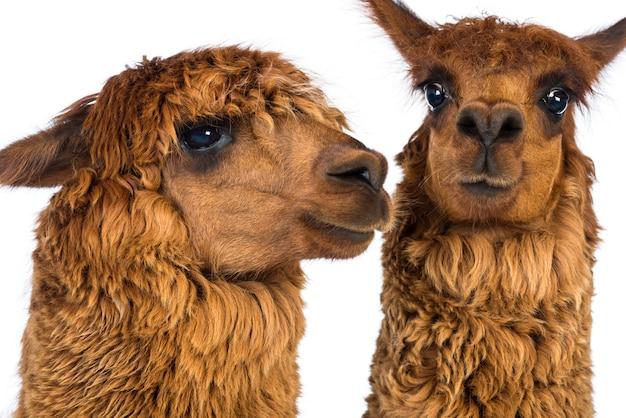 Close-up de duas alpacas