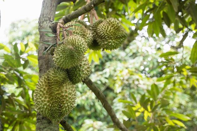 Close up de durain na árvore, conceito de frutas da tailândia