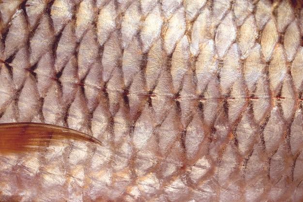 Close-up de escala de peixe carpa, textura de peixe de água doce