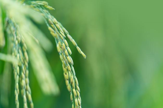 Close-up de espiga de arroz no campo de arroz