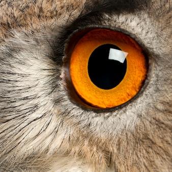 Close up de eurasian eagle-owl bubo bubo uma espécie de coruja águia isolada