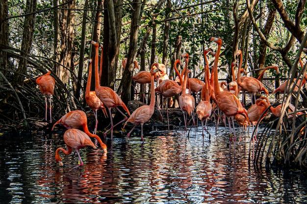 Close-up de flamingos maiores vadear na água