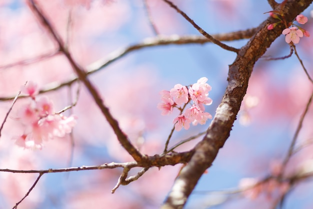 Close-up de flor de cerejeira durante o festival hanami