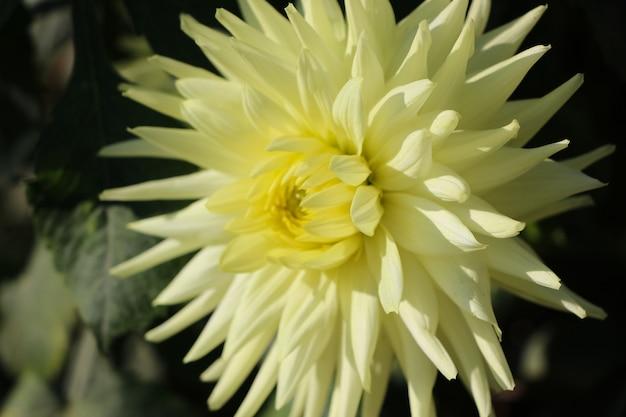 Close-up de flor de dália fresca amarelo-claro