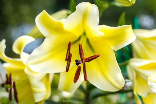 Close-up de flor de lírio amarelo