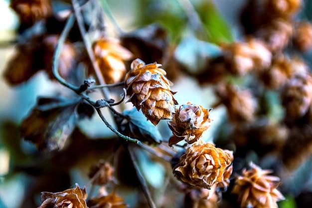 Close-up de flor de lúpulo seco.