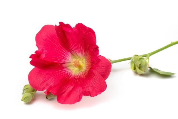Close-up de flor de malva vermelha, isolado em um fundo branco
