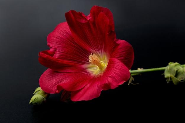 Close-up de flor de malva vermelha, isolado em um fundo preto