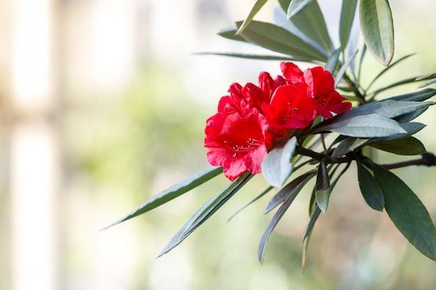 Close-up de floração azáleas coloridas em estufa em dia de sol, foco suave