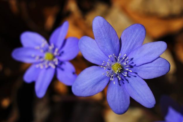 Close-up de flores azuis de scilla