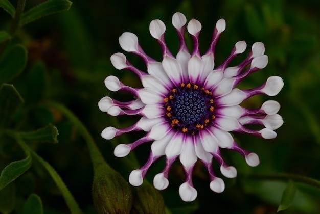 Close-up de flores brancas de gazânia em um fundo escuro natural suave.