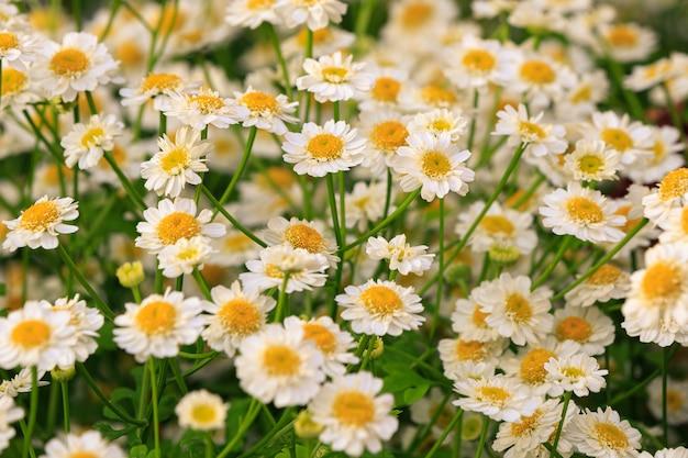 Close up de flores da camomila farmacêutica iluminada pelo sol poente fundo de verão