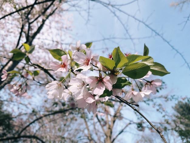 Close up de flores de cerejeira desabrochando na vegetação