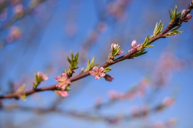 Close up de flores de pessegueiro