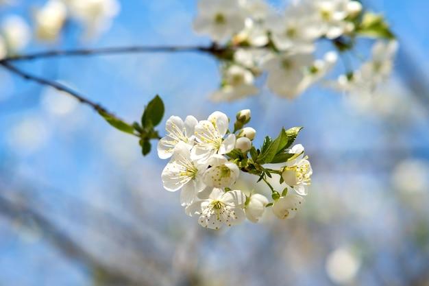 Close-up de flores frescas desabrochando nos galhos de uma árvore