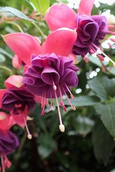 Close-up de flores fúcsia. flores fúcsia roxas sobre um fundo verde.