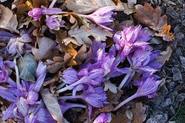 Close-up de flores murchas de açafrão violeta e folhas caídas cobertas por gelo