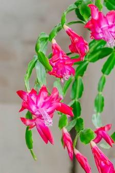 Close-up de flores rosa de zygocactus ou planta de casa de árvore de natal