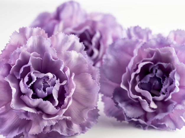 Close up de flores roxas de cravo em um fundo branco