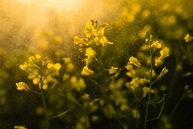 Close-up de florescência bonito do campo da couve-nabiça. foco suave