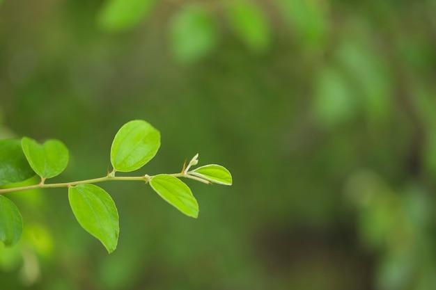 Close up de folha de jujuba verde