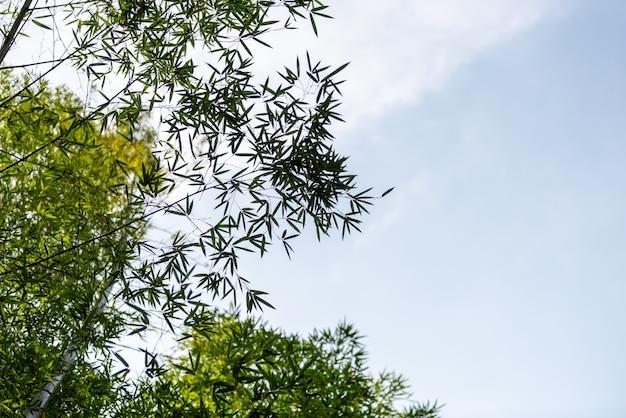 Close up de folhas de bambu na floresta de bambu